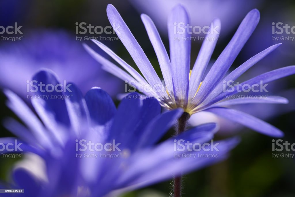 Anemones in the counter-light royalty-free stock photo