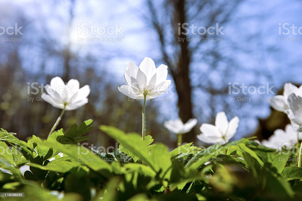 Anemones in the forest backlit (XXXLarge) stock photo