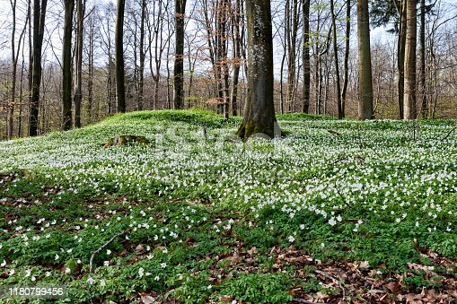 Anemones in the forest at spring