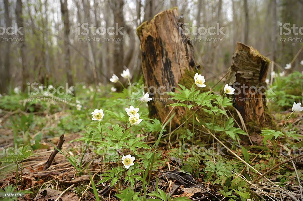 Anemones nemorosa flowers royalty-free stock photo