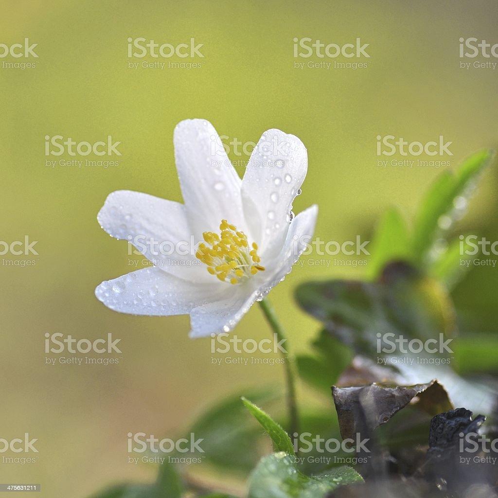 Anemonoides nemorosa - Wood anemone stock photo