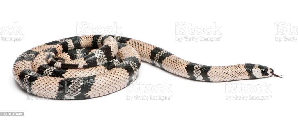 Anerytristic Honduran milk snake, Lampropeltis triangulum hondurensis, in front of white background stock photo