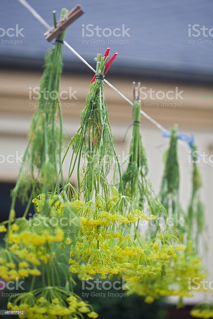 Anethum graveolens - air drying dill spice stock photo