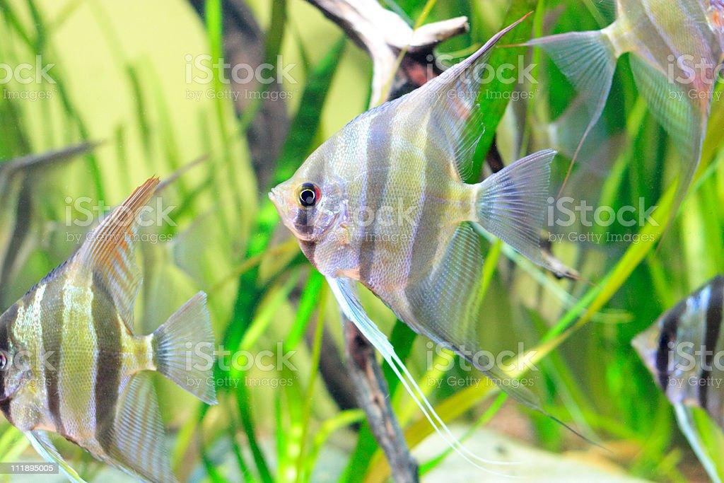 Angel fish against a backdrop of vivid green aquatic plants royalty-free stock photo