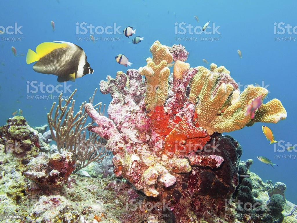 Angel Fish and Coral stock photo