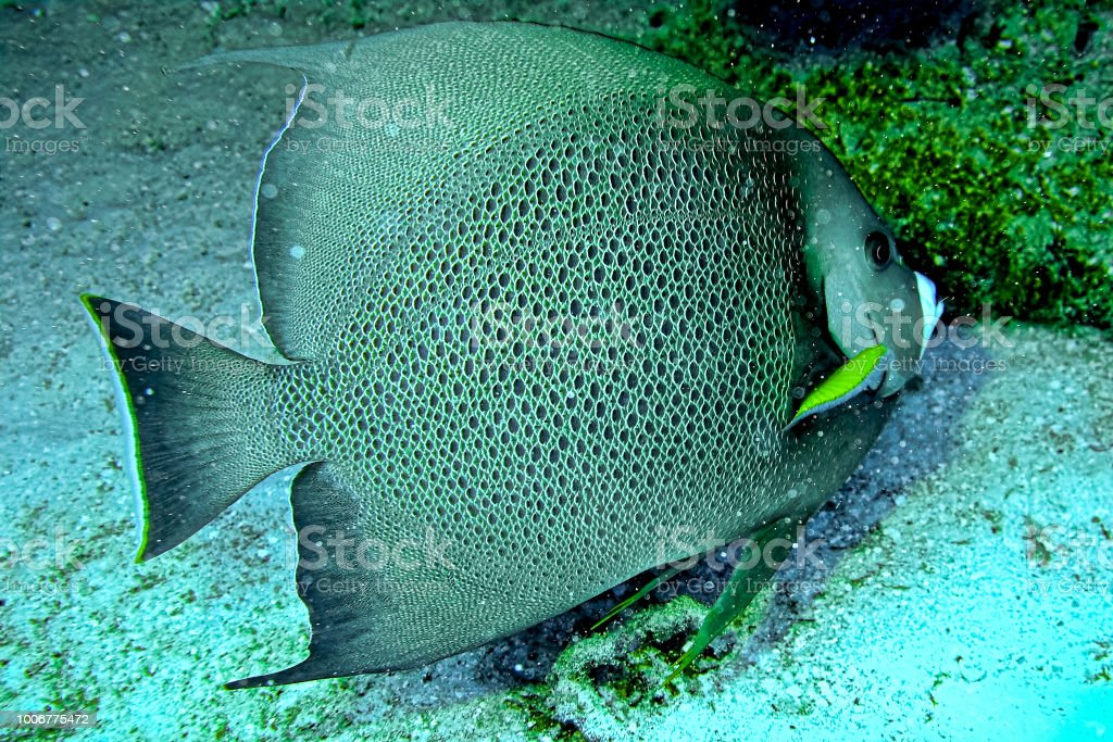 Angel fish beauty seen while scuba diving in Nassau, Bahamas stock photo