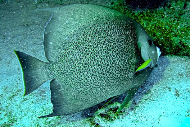 Angel fish beauty seen while scuba diving in Nassau, Bahamas stock photo