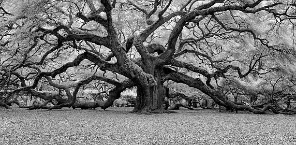 Angel oak black and white stock photo
