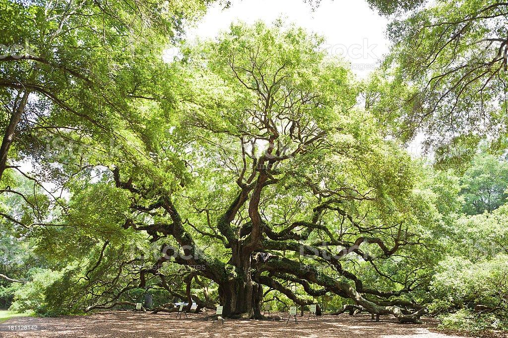 Angel Oak Tree In Charleston, South Carolina royalty-free stock photo