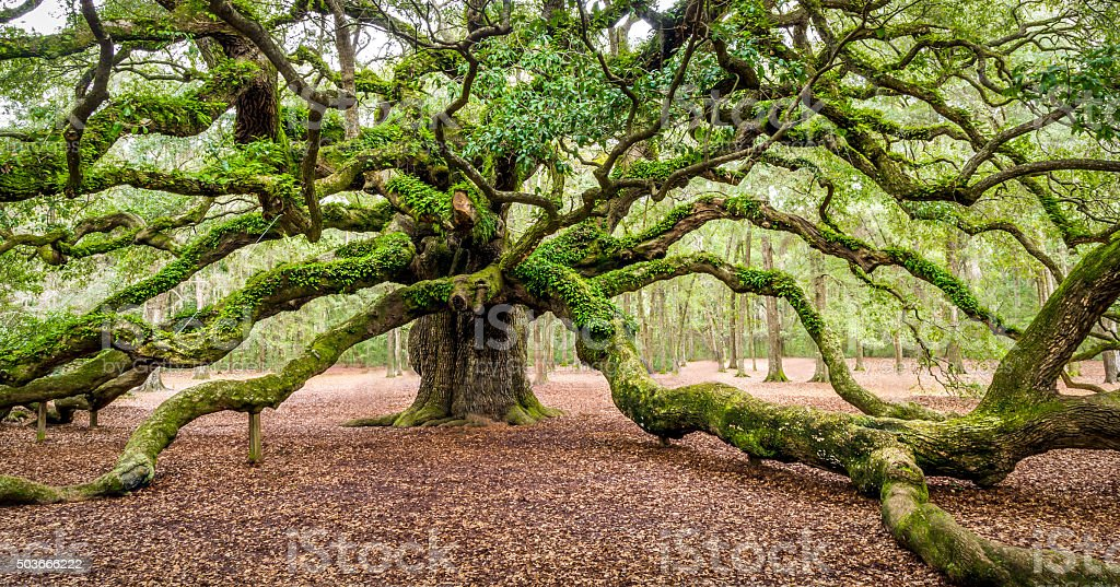 Angel Oak Tree Johns Island Charleston South Carolina SC stock photo