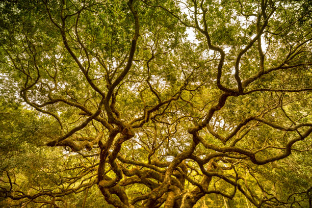angel oak tree near charleston south carolina usa - resilience concept stock photos and pictures