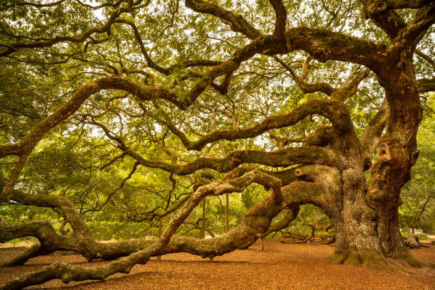 Angel Oak tree near Charleston South Carolina USA stock photo