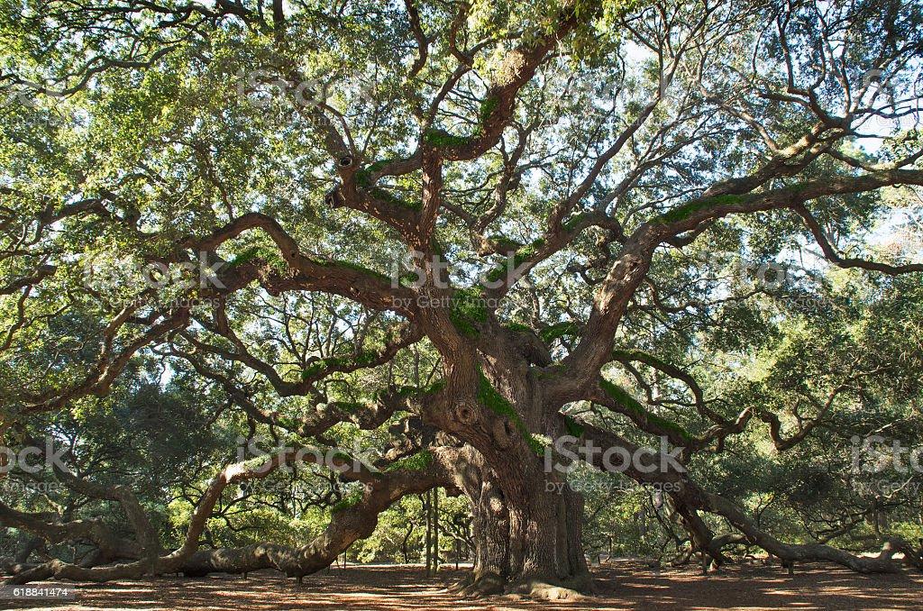 Angel Oak Tree stock photo