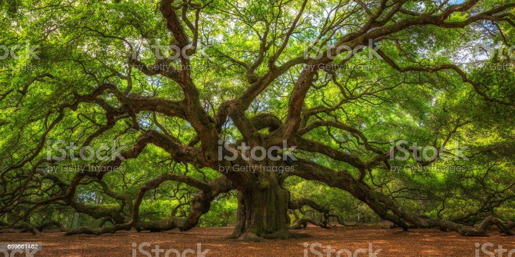 Angel Oak Tree foto de stock libre de derechos