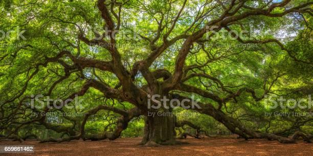 Angel oak tree picture id659661462?b=1&k=6&m=659661462&s=612x612&h=fmq2z7phkejq0siljzvk6lrugrgwra3cq gkj7ln4ke=