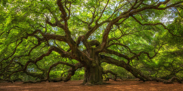Angel Oak Tree stock photo