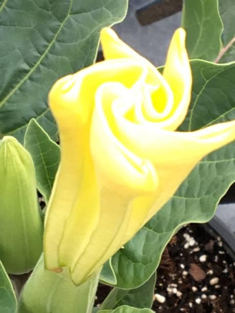 Angel Trumpet Flower stock photo