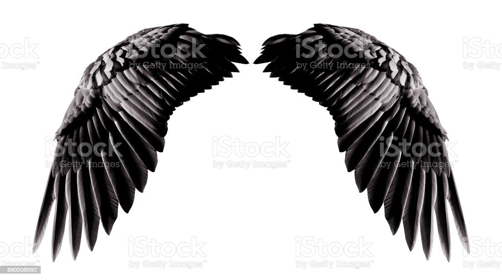 Angel wings, Natural black wing plumage isolated on white background with clipping part stock photo