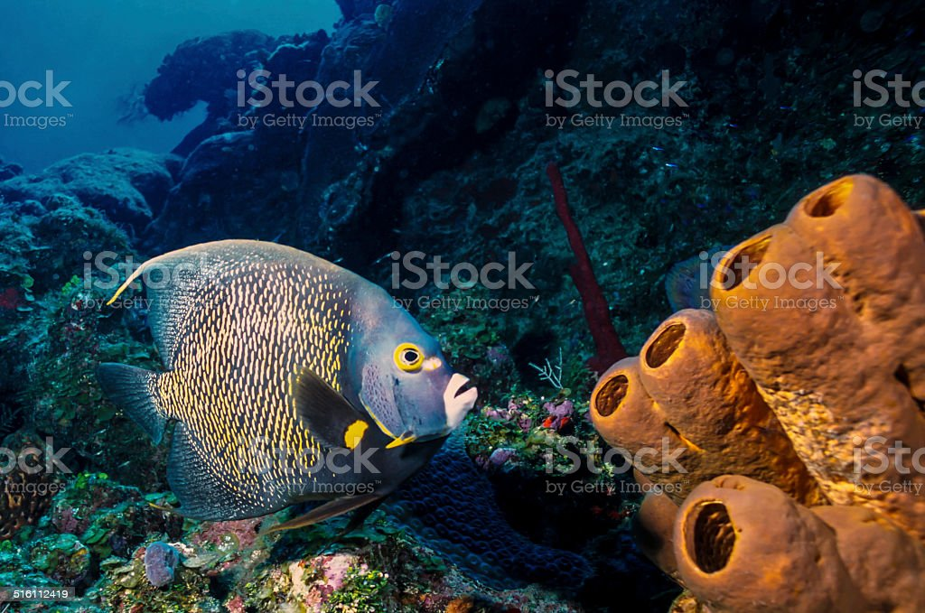 Angelfish and Coral Reef stock photo