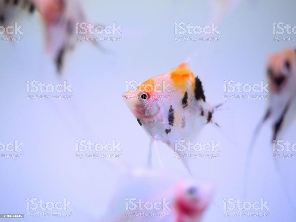 Angelfish Stock Photo & More Pictures of Angelfish | iStock