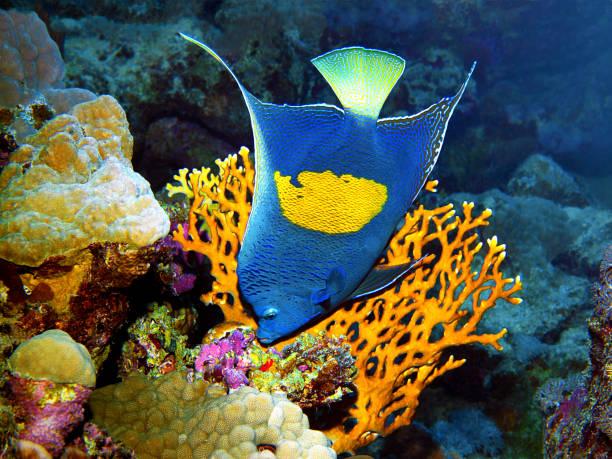 Angelfish posiert sehr malerisch vor einer Feuerallee für diese Unterwasserfotografie. Ein Tauchgang im Roten Meer - Ägypten – Foto