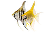 zebra angelfish pterophyllum scalare aquarium fish isolated on white