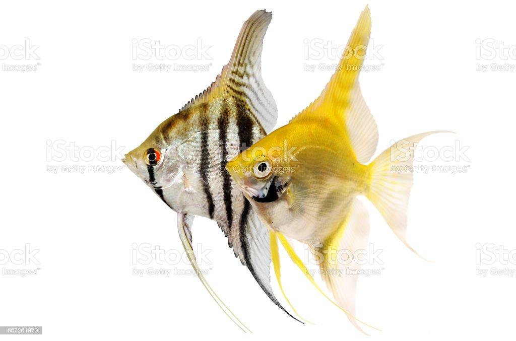 Angelfish pterophyllum scalare aquarium fish isolated on white stock photo