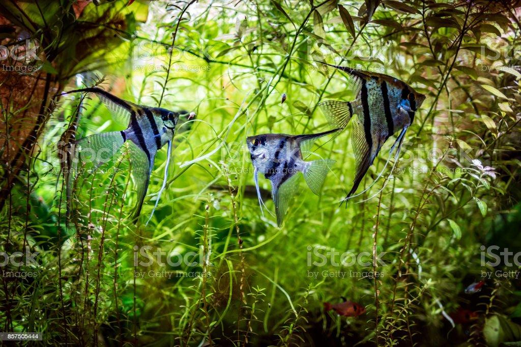 Angelfish Pterophyllum scalare stock photo