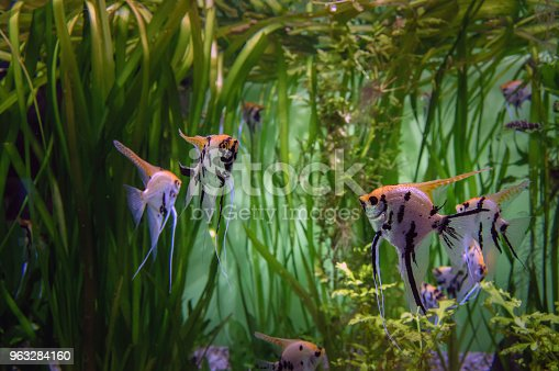 istock Angelfish Scalar in the aquarium on a background of algae. Beautiful colorful tropical fish Skalaria. 963284160