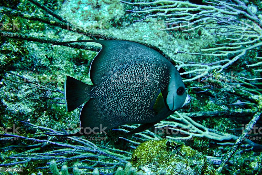 Angelfish swimming in the ocean that we saw while scuba diving in Nassau, Bahamas stock photo