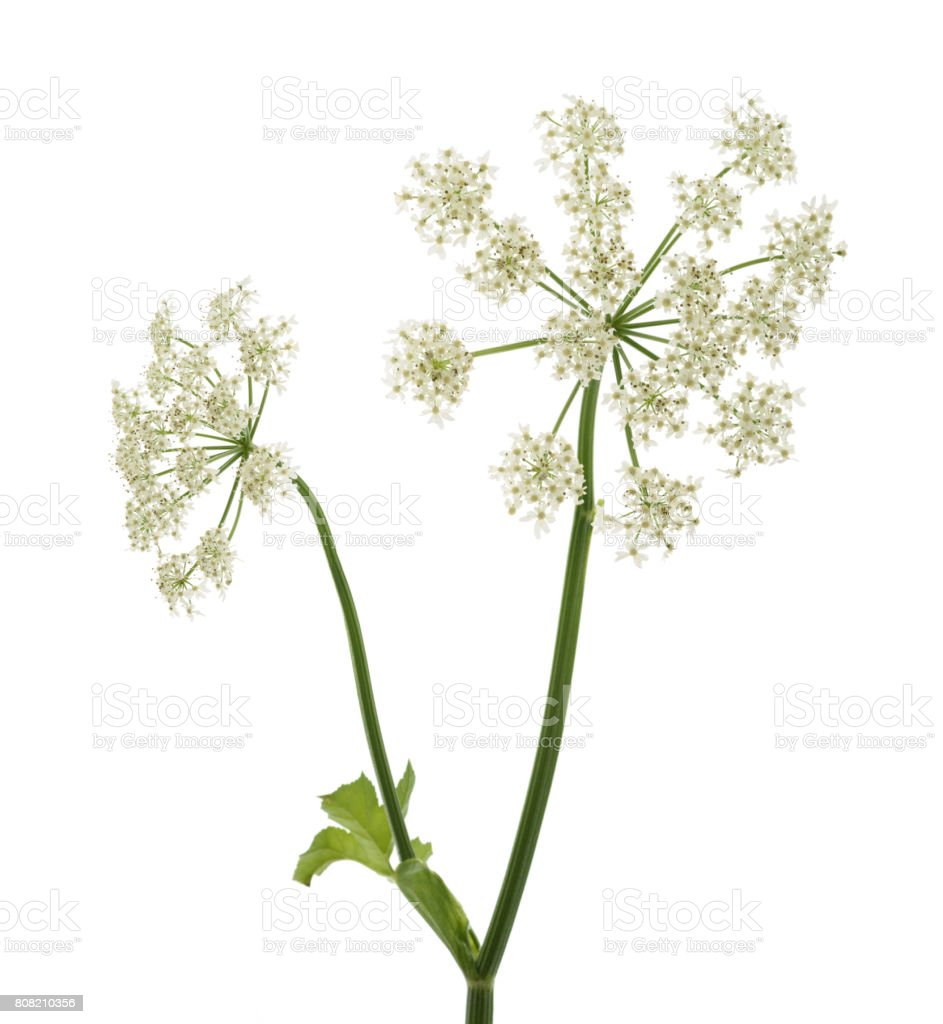 Angelica archangelica flowers stock photo