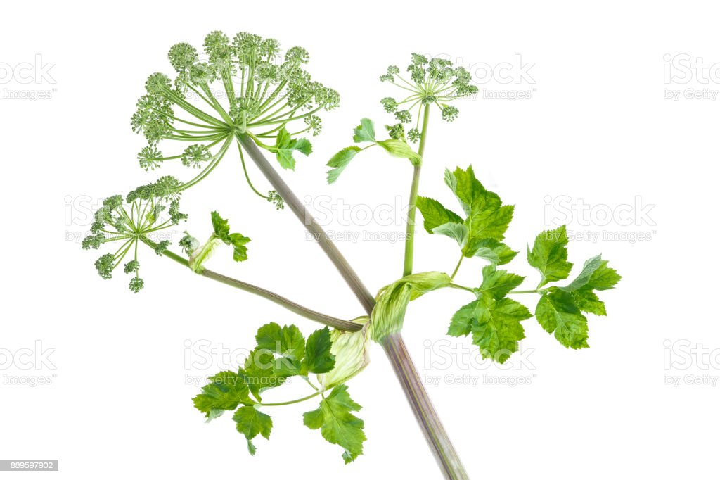 Angelica; Archangelica; umbel stock photo