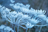 The plant covered with frost. Angelica flowers covered with ice and snow in a forest. Frozen, dried plant in the field. Winter patterns. Snow crystals. Winter natural background