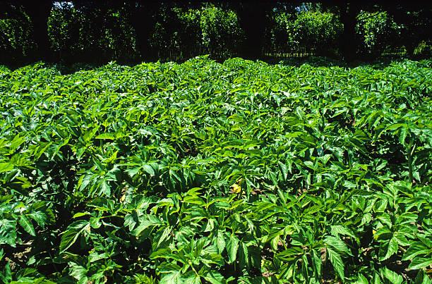 angelica growing stock photo