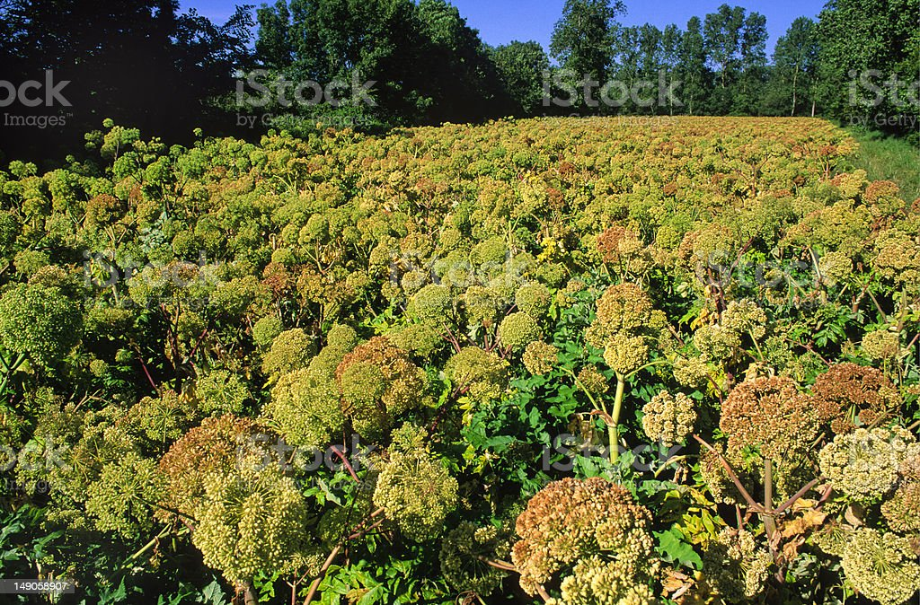 angelica growing royalty-free stock photo