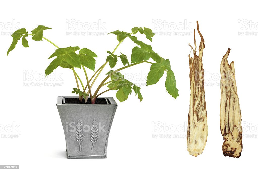 Angelica Herb and Root royalty-free stock photo