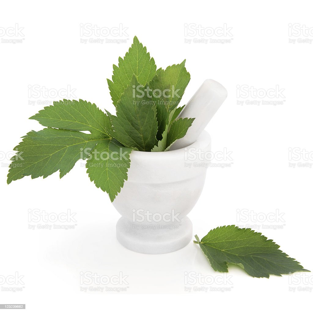 Angelica Herb stock photo