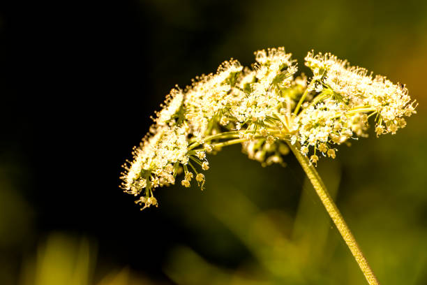 Angelica, medicinal herb with flower in summer stock photo