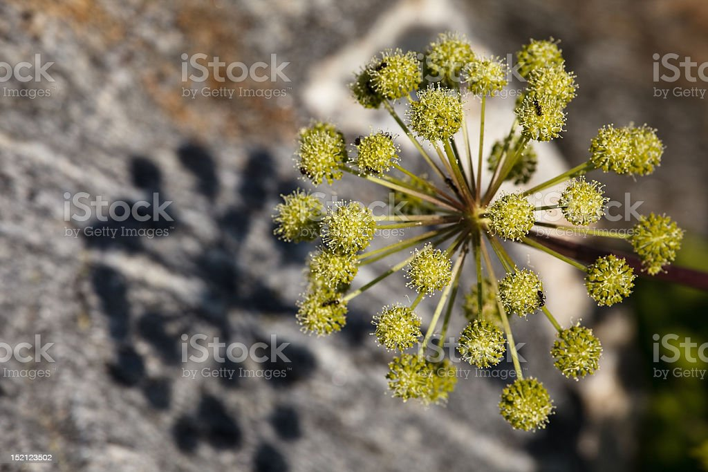 Angelica royalty-free stock photo