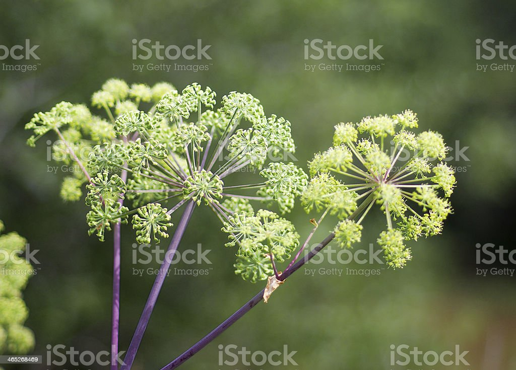 Angelica plan royalty-free stock photo