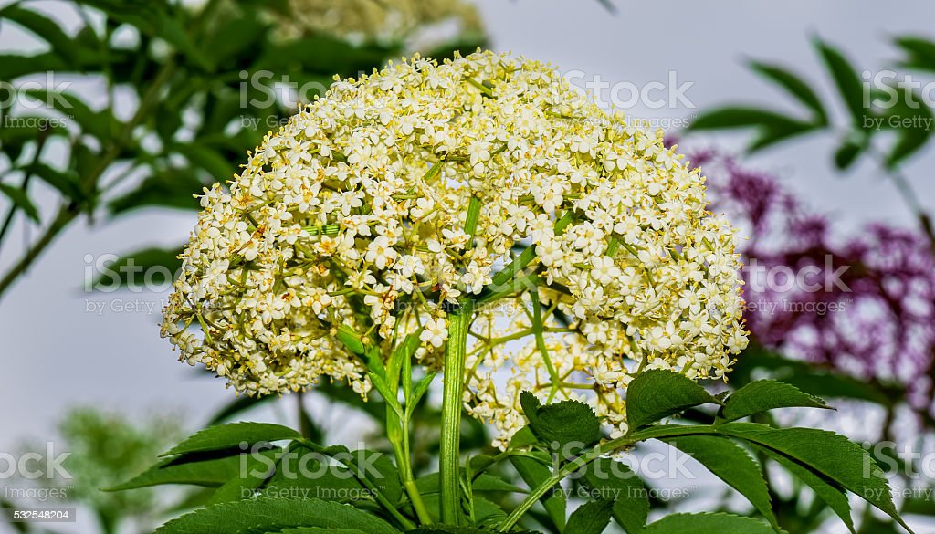 Angelica Sylvestris, Lyall's Angelica, Sharptooth Angelica, Shining Angelica flower stock photo