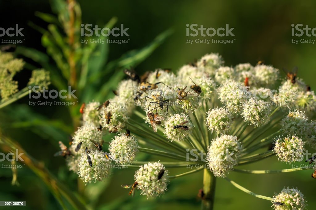 Angelica. Wild flower. stock photo