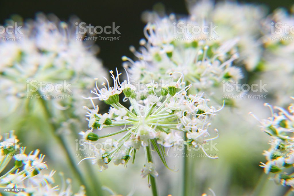 Angelica. Wildflower. stock photo