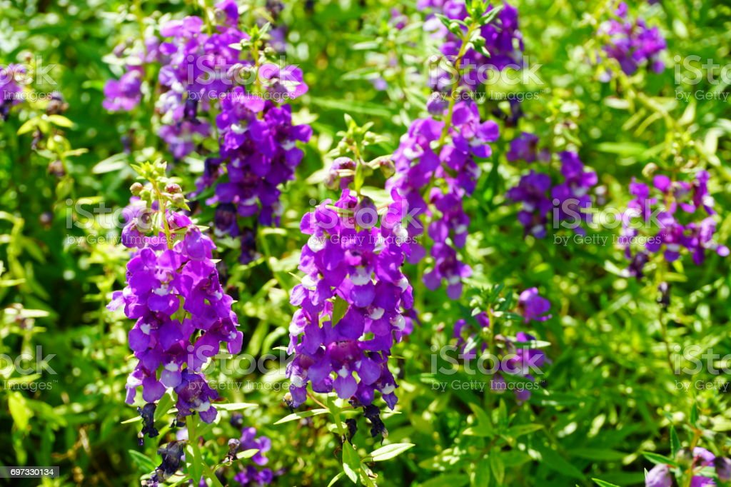 Angelonia salicariifolia blooming in the garden stock photo