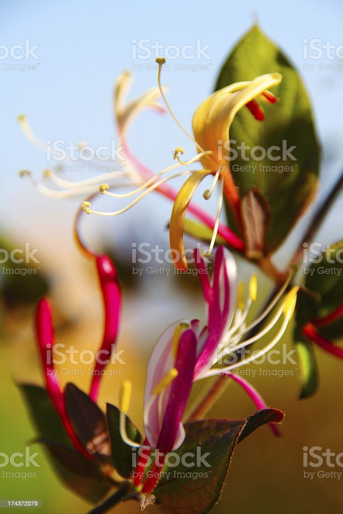 Angel's flame flower royalty-free stock photo
