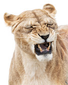 Furious roaring lioness isolated on white background
