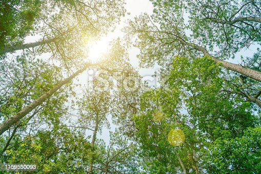 The forest of pine trees at a wide angle from the bottom compared to the sky with the sunlight passing down, Under the view of a pine tree in a large forest with sunlight shining, tree in spring.