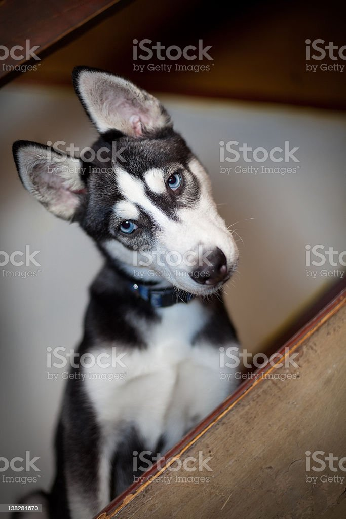 Angle Frame tilt head Siberian Husky stock photo