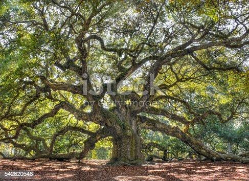 istock Angle Oak Tree of South Carolina 542820546
