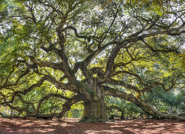 Best Oak Tree Stock Photos Pictures Amp Royalty Free Images